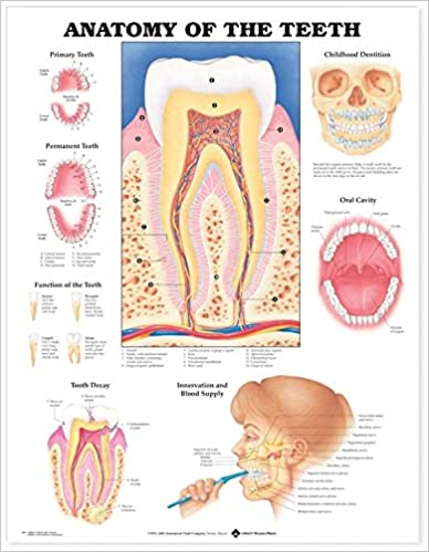 Anatomy Of The Teeth Anatomical Chart 9781587791000 Medicine