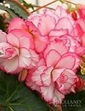 Bouton de Rose Double Camelia Begonia