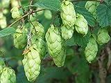 Hops, Humulus Lupulus, Perennial Vine 20 Seeds (Fast, Hardy)