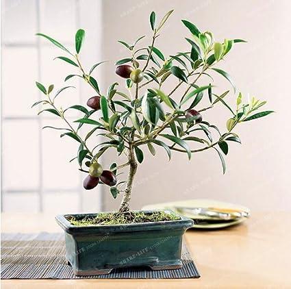 Bonsai Olive Tree Seeds Bonsai Tree