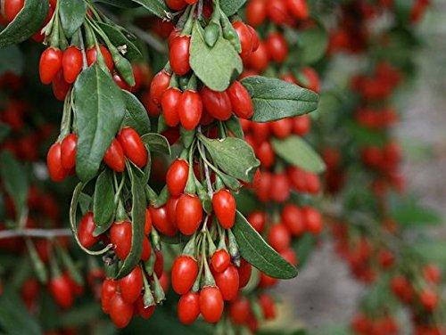Dynamite Goji Berry (lycium) - Super Fruit - Live Plant - Quart Pot