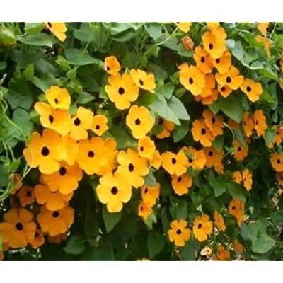 "Black Eyed Susan Vine Mix""Thunbergia Alata"" 25 Seeds : Garden & Outdoor"