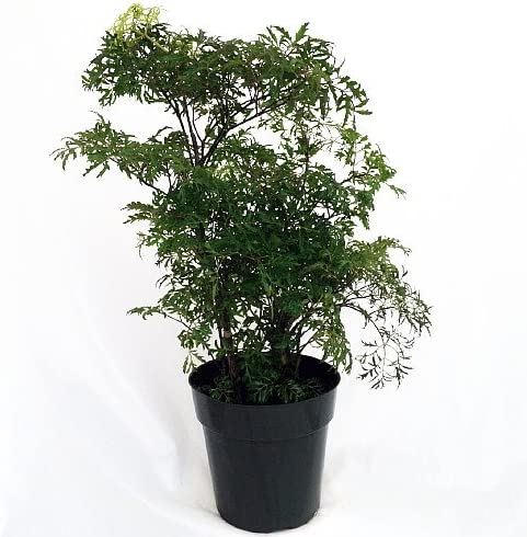 Amazon Com Ming Aralia Pre Bonsai Tree Polyscias Fruticosa Indoor 6 Pot Garden Outdoor
