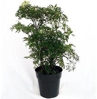 Amazon.com : Two Midnight Weeping Fig Tree - Ficus - Great Indoor ...