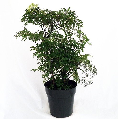 Ming Aralia Pre-Bonsai Tree - Polyscias fruticosa - Indoor - 6'' Pot by JM BAMBOO
