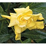 Golden Magic Gardenia (Cape Jasmine)   Live Plant   4 Inch Pot
