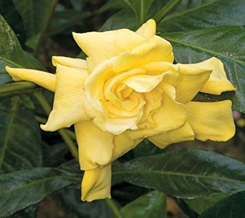 Golden Magic Gardenia (Cape Jasmine) - Live Plant - 4 inch Pot (Cape Gardenia Jasmine)