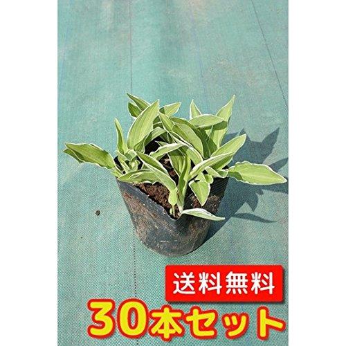 【ノーブランド品】フイリギボウシ/9~10.5cmポット【30本セット】 B00W4VWF7E