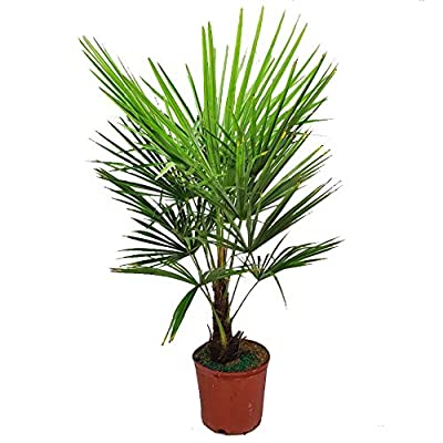 Windmill Palm Tree 3 Gallon Pot - Overall Height 24