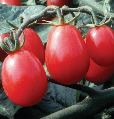 davids-garden-seeds-tomato-grape-chiquita-red-25-hybrid-seeds