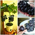 Fruit Bonsai seeds 20pcs VERY RARE Japanese Dwarf Kyoho (Vitis labrusca) Deep Purple Table Grape SEEDS!