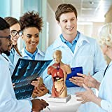 Evviva Sciences Human Heart, Torso and Skeleton