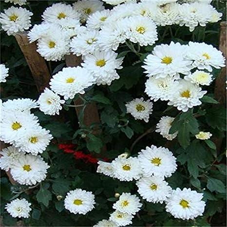 50pcs tierra-cubierta del crisantemo de jardín, crisantemo perennes Semillas, Semillas Flores de la margarita: 6: Amazon.es: Jardín