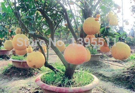New Arrival!!! 20/bag Hardy Mini Pummello Pomelo Pomello tree Dwarf kao Pan Grape fruit! Rare Bonsai Fruit seeds for home garden -