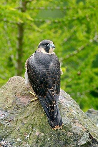 Wildlife Peregrine Falcon Bird on Rock Poster Print by David Slater