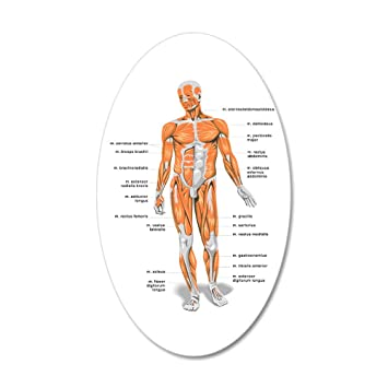 Amazon Cafepress Muscles Anatomy Body Wall Decal 20x12 Oval