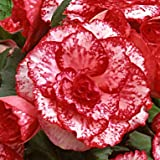 """Red Amerihybrid Tuberous Picotee Lace Begonia Flamenco (3 Big Bulbs) 6"""" Bi-Color Blooms 