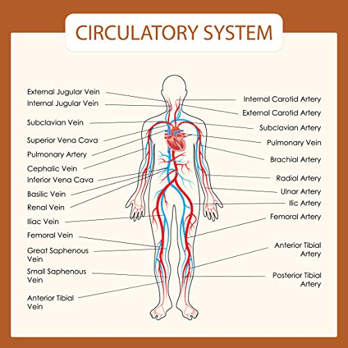 Human Body Systems Educational Posters - Circulatory Skeleton Endocrine Muscular Nervous Digestive Respiratory - Wall Art for Home Office Classroom Decor - CIRCULATORY SYSTEM - 24X24 inches
