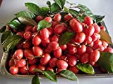 Go Garden 10 Seeds Elaeagnus Latifolia High Vitamin C from Thailand