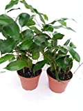 Two Midnight Weeping Fig Tree - Ficus - Great Indoor Tree for Low Light - 4'' Pot