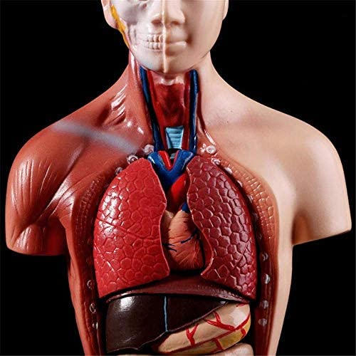 Education Human Body Anatomy Of The Human Body Internal Organs For Teaching Detachable 15 Rooms For Teaching Resources Medical Models And Educational Materials