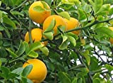 Tree Seeds - 5 Seeds of Hardy Bitter Orange, Poncirus trifoliata, (Showy, Fragrant, Edible)