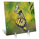 3dRose Danita Delimont - Butterflies - Monarch butterfly emerging from chrysalis, Hill Country, Texas - 6x6 Desk Clock (dc_279569_1)