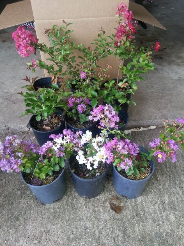 Crape Myrtle Trees - Box of 4 Trees - Quart Pot - Approx. 1 foot tall … by CrapeMyrtleGuy