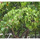 25x Sea Grape Tree Seeds