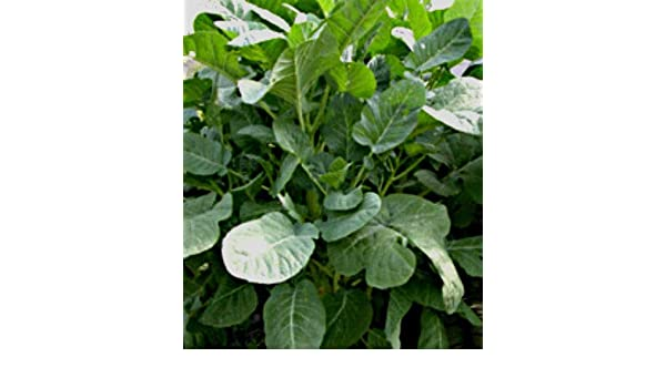 Brassica carinata Ethiopian kale 100 seeds Abyssinian cabbage