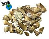 5 Fossilized Mosasaurus Teeth - Genuine Mosasaurus Tooth - Dinosaur Fossil