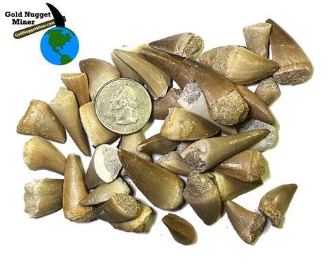 - 5 Fossilized Mosasaurus Teeth - Genuine Mosasaurus Tooth - Dinosaur Fossil