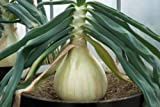 buy Ukrainian Organic Vegetable Onion seeds