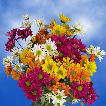 GlobalRose 144 Assorted Fresh Cut Chrysanthemums Daisies Flowers - Fresh Flowers For Birthdays, Weddings or Anniversary. by GlobalRose (Image #4)