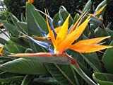 Bird of Paradise - Strelitzia Reginae - Live Plant