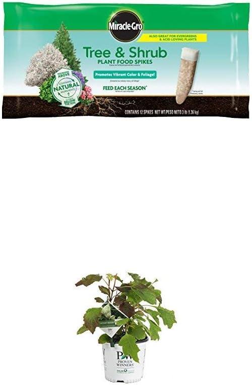 Miracle-Gro Tree & Shrub Fertilizer Spikes - 12 PK and Gatsby Moon Oakleaf Hydrangea (Quercifolia) Live Shrub, White to Green Flowers, 1 Gallon