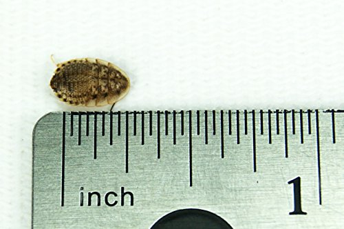 "1/4"" Dubia Roaches (500 Count)"