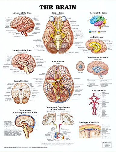 The Brain Anatomical Chart Poster Print