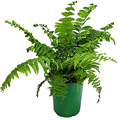 Tropical Plants of Florida - Macho Fern Plant - 14 inches to 18 inches Overall Height - 6 inch Planter Pot (1 Gallon) : Garden & Outdoor