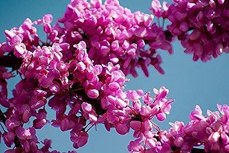 Pianta Fiori Rosa.Pianta Di Cercis Siliquastrum Albero Di Giuda Fiore Rosa Lilla