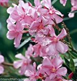 Nerium Oleander 20 Seeds Lovely Little Pink Flowers Compact Shrub Drought Salt Tolerant Easy to Grow Perfect for all Gardening Types