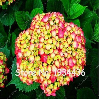Envoy/és gratuitement 50 hortensias hortensias Balc/ón Fort Bonsai Viburnum Planta De Los Bonsai Semillas De Flores De Hortensia Macrophylla