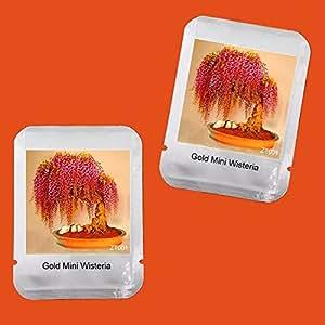10 PCS Semillas raras Oro Mini Bonsai Wisteria árbol de interior Plantas de flores ornamentales, embalaje profesional, # ZT001