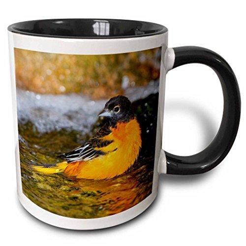 (3dRose Danita Delimont - Birds - Baltimore Oriole male bathing, Marion, Illinois, USA. - 15oz Two-Tone Black Mug)