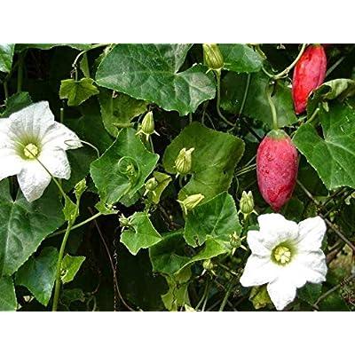 Cheap Fresh Scarlet Ivy Gourd Kowai Coccinia Grandis Get 10 Seeds Easy Grow #BRS01YN : Garden & Outdoor