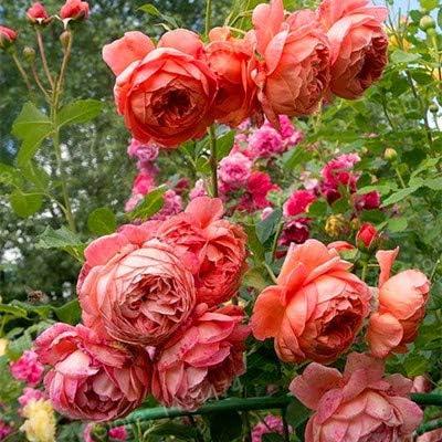 Kalash Neu 100pcs Kletterrose Blumensamen zum Gartenarbeit Hellrot