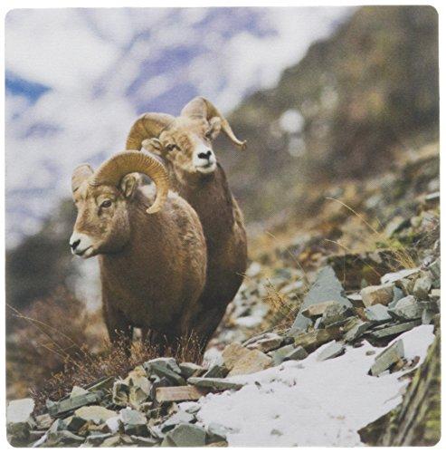 3dRose 8 x 8 x 0.25 Inches Mouse Pad, Bighorn Sheep Rams, Altyn Ridge, Glacier Np, Montana (Bighorn Sheep Ram)