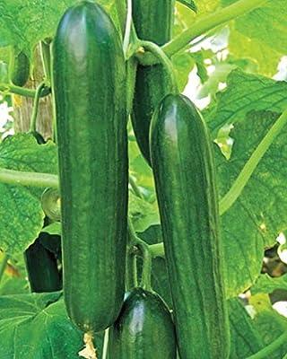 Amiga F1 Hybrid Cucumber Seeds - dark green with excellent flavor!!!