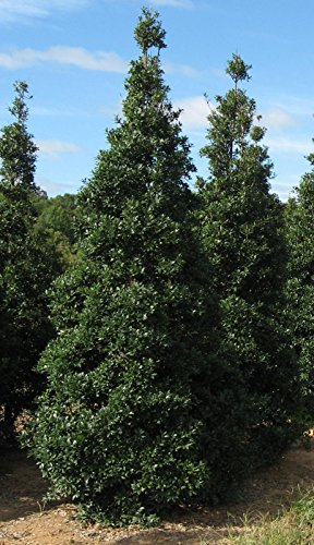 "Foster's Holly Healthy Evergreen Tree 7""-12"" -2.5"" Potted Starter Plant - 6 Pack -  Grower's Solution"