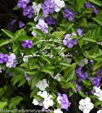 Brunfelsia pauciflora Floribunda Yesterday Today Tomorrow Seeds Standard Plant 5 seed